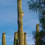 our courtyard showoff, saguaro in bloom