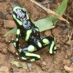 Dart Frog hopping out on the grounds