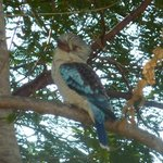 Kookaburra viewed from lounge area