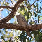 Tawny frogmouth having a sleep at Lakeside
