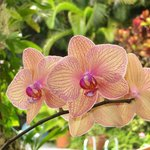 Orchids on the lanai