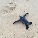This baby leatherback made it to the sea
