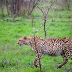 Cheetahs on last drive of stay