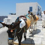 Mules traipsing through Oia
