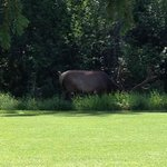 male elk next to blue tees on the 10th hole so busy eating he never looked up