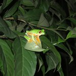 red eyed tree frog in the garden