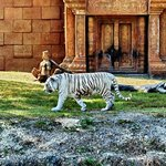 The amazing white Bengal tiger