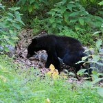 Bear on the grounds of Big Meadows
