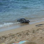 Monk seal on the beach at Tunnels