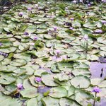 Purple lotus pond at spa area