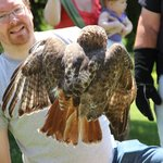 Releasing a red-tailed hawk at The Raptor Trust