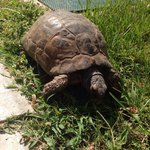 One of the tortoises roaming around the grounds