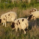 animaux camping ferme moutons