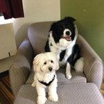 "My ""girls"" Sasha O(Border Collie) and Ruby (Poodle) very happy!"