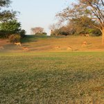 Impala grazing on the golf course