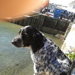 Pub Dog waiting for tide to go out so that his beach is exposed