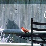 cardinal in the garden by the pool