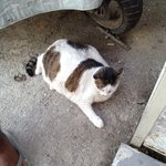 Fattest cat in Turkey lives here