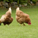 Chooks on the prowl - a regular sight