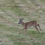 Deer are frequently seen in the field