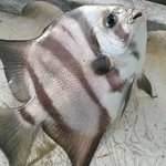 Spadefish caught on bait-shrimp