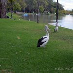 Most Friendly Pelicans in Australia