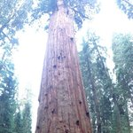 World's largest tree