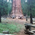 Panoramic view of the World's largest Tree