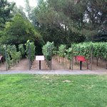 Grape vine test plot