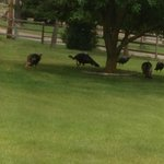 Wild turkeys feeding on the lawn