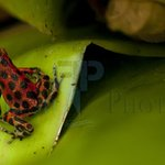 Tiny Red Dart Frog