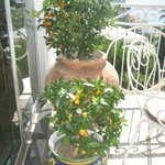 Citrus trees on dining balcony