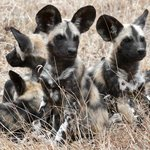 African hunting dog pups