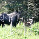 Mum and baby Moose in Cabins rear meadow