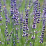 A difference type of lavender (there are hundreds)
