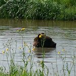 Grizzly Bear swimming in the pond