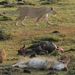 Lions with Wildebeest kill