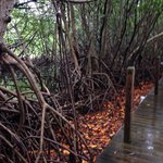 White Mangrove tree