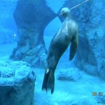 Underwater view of sea lion cover