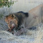 Lion kill outside camp