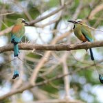 A pair of motmot