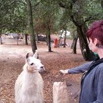 super friendly llama's