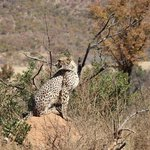 Cheetah with her cubs tucked away in the bush