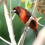 Crimson-backed Tanager in the garden
