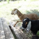 The Welcoming Committee (three goats)