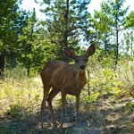 Mule Deer at Knox Mountain