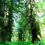 Ancient Cedar Forest