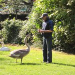 2012- A lovely retired man used to visit/feed the cygnets daily