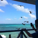 The feeding of the Magnificent Frigatebirds