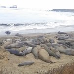 Piedras Blancas Rookery (11 miles from Mariner's Inn)